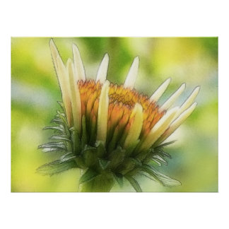 Coneflower Bud Posters
