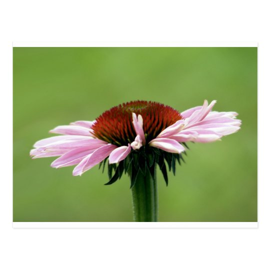 Coneflower Postcard