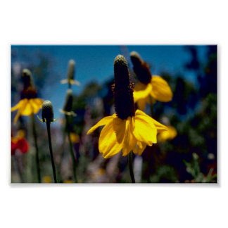 Coneflower Posters