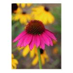 Coneflower rosado postales