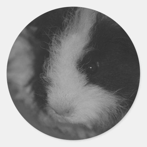 Conejillo de Indias de Texel en blanco y negro Pegatinas Redondas