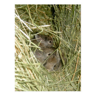Conejitos del conejo de rabo blanco tarjeta postal