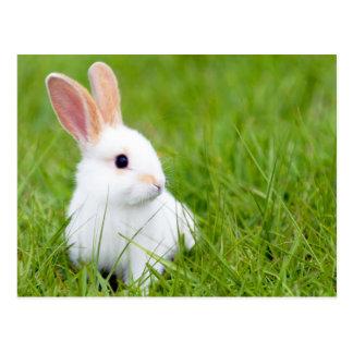 Conejo blanco postales
