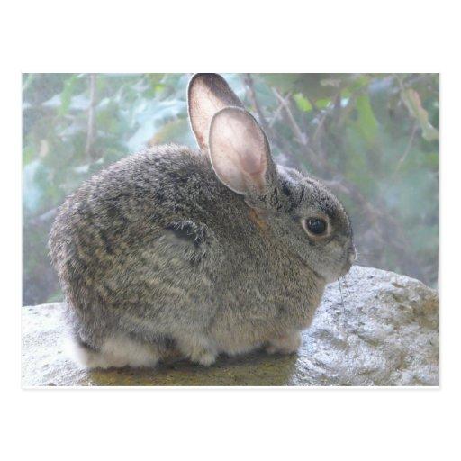 conejo de conejo de rabo blanco postales