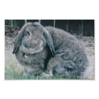 Conejo de Holanda Lop Póster