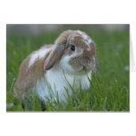 Conejo de Holanda Lop Tarjetas