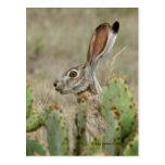 Conejo de Jack - cactus - 2 - 2009 Tarjeta Postal