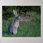 Conejo de Jack Poster