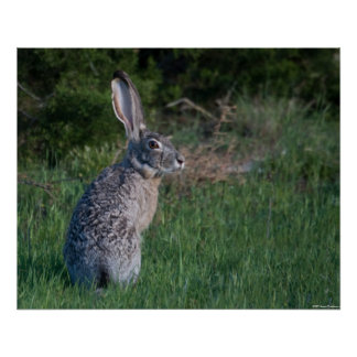 Conejo de Jack Póster