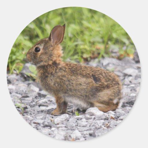 Conejo de rabo blanco del este pegatina redonda