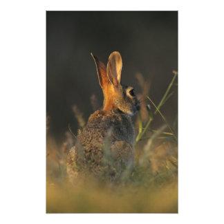 Conejo de rabo blanco del este, sylvilagus florida cojinete