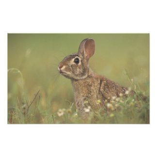 Conejo de rabo blanco del este, sylvilagus florida fotografías