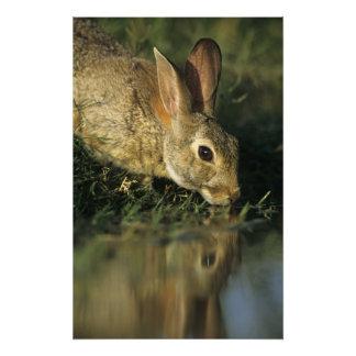 Conejo de rabo blanco del este, sylvilagus florida fotografía
