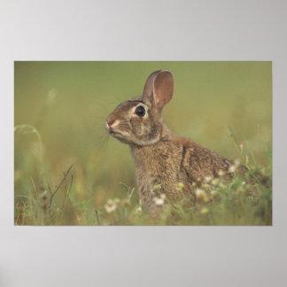 Conejo de rabo blanco del este sylvilagus florida posters