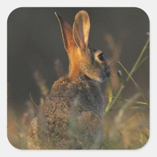 Conejo de rabo blanco del este, sylvilagus florida calcomanías cuadradas personalizadas