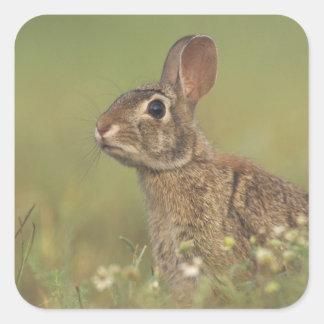 Conejo de rabo blanco del este, sylvilagus pegatina cuadrada