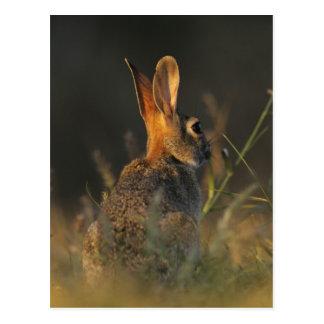 Conejo de rabo blanco del este, sylvilagus postales