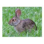 Conejo de rabo blanco en postal de la hierba