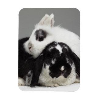 conejo Enano-espigado que se inclina sobre de orej Imán