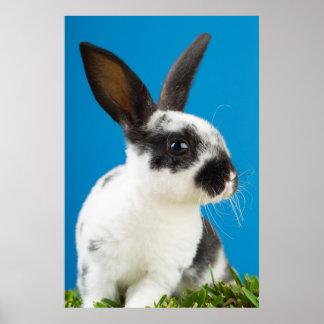 Conejo joven de Rex Póster