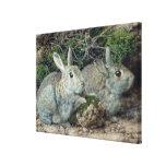 Conejos Impresión En Lienzo