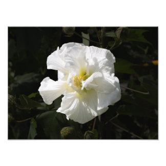 Confederate Rose Photographic Print