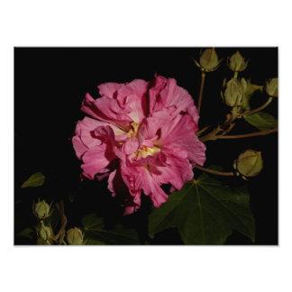 Confederate Rose Photo Print