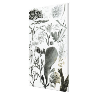 Conferra Fucus Stretched Canvas Prints