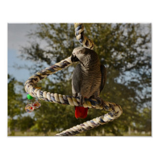 Congo African Grey on a Swing Poster