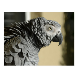 Congo African Grey Parrot with Ruffled Feathers Postcard