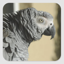 Congo African Grey Parrot with Ruffled Feathers Square Sticker