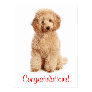 Congratulations Apricot Poodle Puppy Dog Postcard