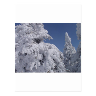 Conifer trees plastered with snow postcard