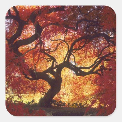 Connecticut: Darien, arce japonés 'Acer Calcomania Cuadrada Personalizada