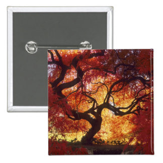 Connecticut: Darien, Japanese maple 'Acer 2 Inch Square Button