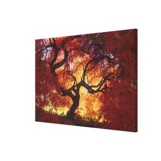 Connecticut: Darien, Japanese maple 'Acer Canvas Prints