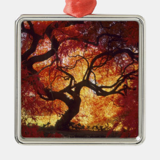 Connecticut: Darien, Japanese maple 'Acer Metal Ornament