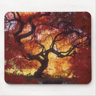 Connecticut: Darien, Japanese maple 'Acer Mousepads