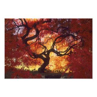 Connecticut: Darien, Japanese maple 'Acer Photo Print