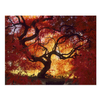 Connecticut: Darien, Japanese maple 'Acer Postcard