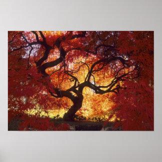 Connecticut: Darien, Japanese maple 'Acer Poster