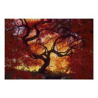 Connecticut: Darien, Japanese maple 'Acer Posters