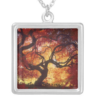Connecticut: Darien, Japanese maple 'Acer Silver Plated Necklace