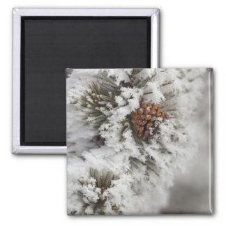Cono del pino de Lodgepole en invierno en Yellowst Imán Cuadrado