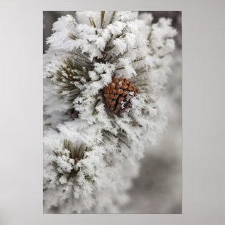 Cono del pino de Lodgepole en invierno en Yellowst Poster