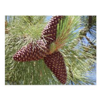 conos del pino, pino, el lago Tahoe, naturaleza Postales