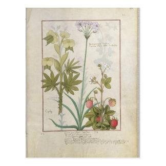 Consiligo, Burreed and Strawberry Postcard