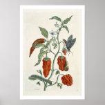 """Consuelda, """"de un herbario curioso"""", 1782 (inglés  póster"""