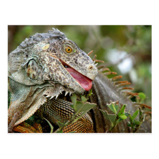 Consumición de la iguana postal