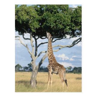 Consumición de la jirafa tarjetas postales